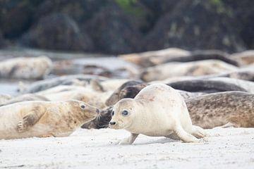 Jong Zeehondje kruipt over het strand. van Andius Teijgeler