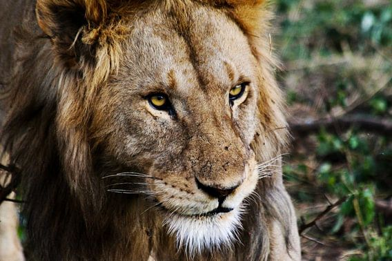 The King of the Jungle - Afrikaanse Leeuw