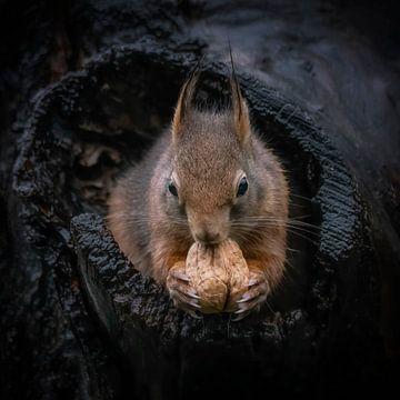 Eekhoorn met walnoot in een holle boomstam. van Albert Beukhof