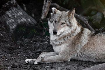 Beobachten. Die Wölfin liegt schön auf dem Boden, imposant liegt sie. Mächtiges graziöses Tier im He von Michael Semenov