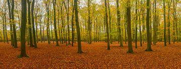Beukenbos panorama in de herfst sur Sjoerd van der Wal