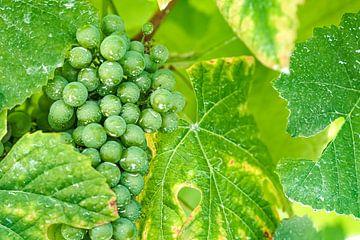 Raisins verts sur I Should Shutter