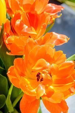 Oranje tulp von 7Horses Photography