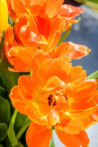 Oranje tulp van 7Horses Photography