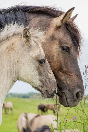 Paarden | Konikpaard merrie met veulen portret Oostvaardersplassen