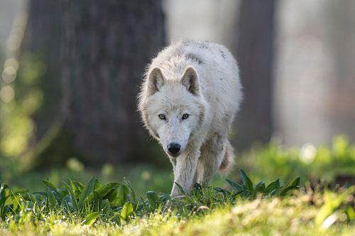 Arctic wolf von Etienne BRUNELLE