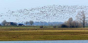 Ganzen in vogelvlucht von Henk van Essen
