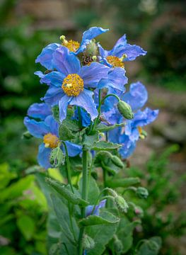 Meconopsis. Andere naam is de blauwe papaver.  Oorspronkelijk komt deze plant uit de Himalayas.  von Fred Louwen