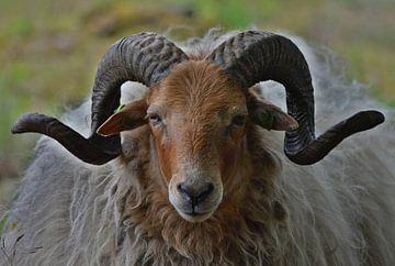 Drents moutons de bruyère avec des cornes joliment frisées sur Daniëlle Beckers