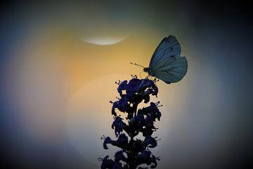 Farblicht Schmetterling von A. Bles