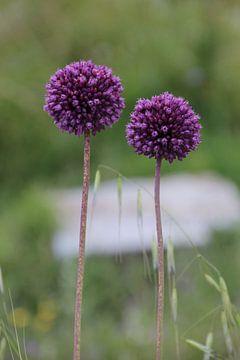 Zwiebelpflanze von Gerda Guichelaar