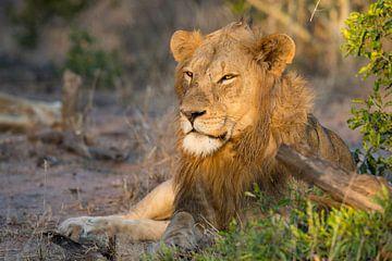König der Löwen von Andius Teijgeler