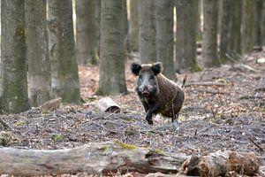 Wild zwijn op de Veluwe