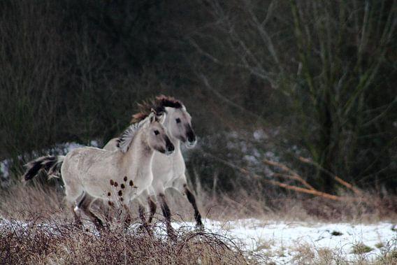 paarden van ahmed bidani