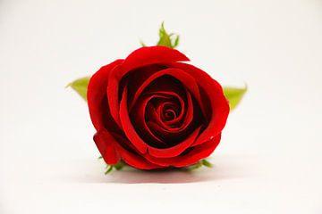 rote Rose auf weißem Grund von Pfotowelt