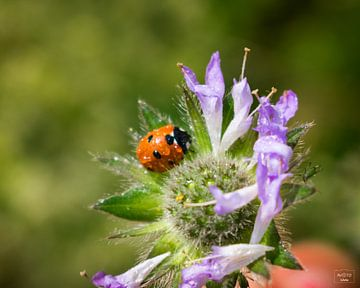 Marienkäfer auf einer Blume von Photo Julleke