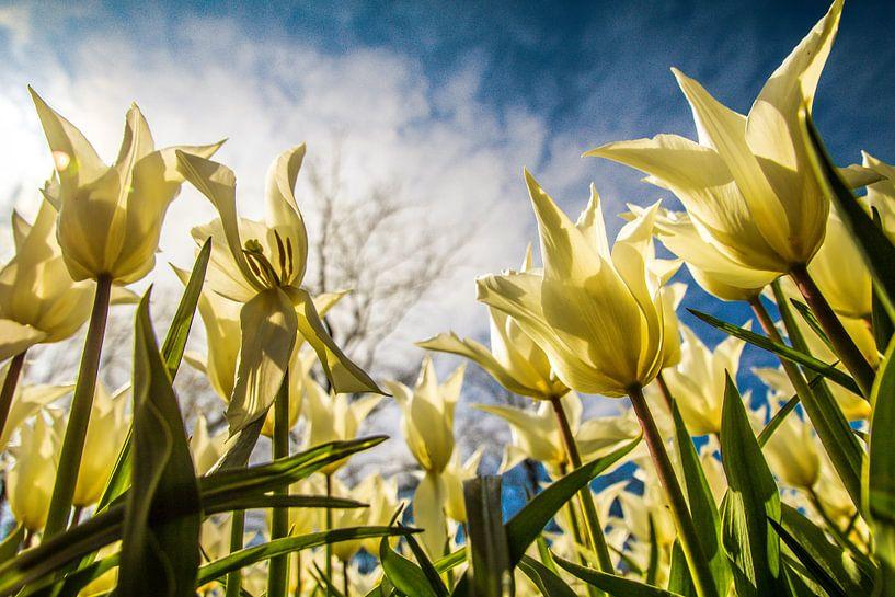 Tulpen vol in bloei van Koop je Canvas
