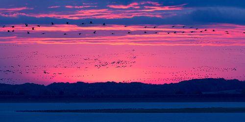 Kraanvogels vóór zonsopkomst van