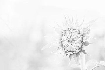 Sonnenblume in schwarz-weiß von Nicky Kapel