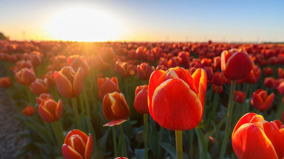 Tulpen in Flevoland tijdens zonsondergang