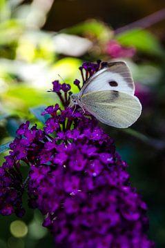 Groot Koolwitje op een vlinderstruik van