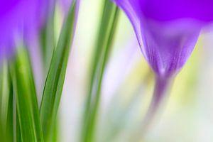 Kleurrijk detail van een krokus