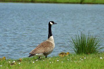 Elterngans mit Küken von Lisanne Rodenburg