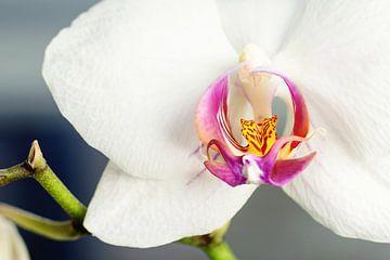 Die Orchidee von Angelique van Kreij