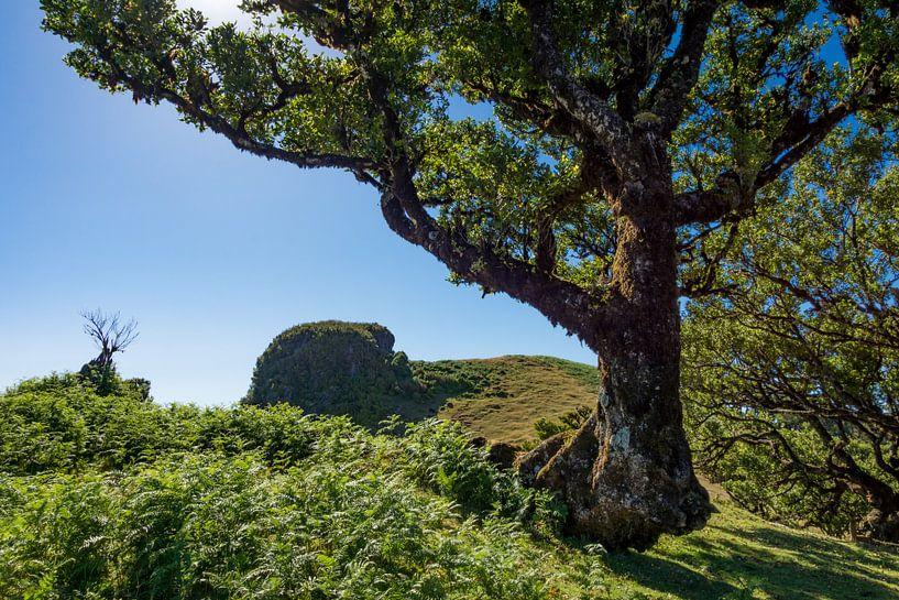Oude boom in Madeira van Michel van Kooten