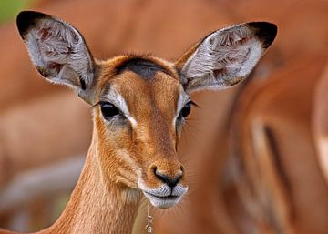 Impala - Afrika wildlife von W. Woyke