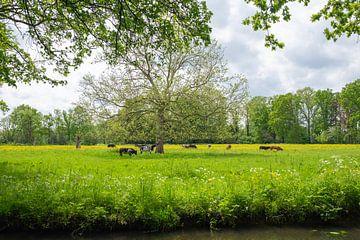 Buitenplaats Het Huys ten Donck: koeien grazen in het veld van Rick Van der Poorten