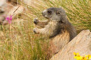 Marmot is gras aan het eten in de alpen van