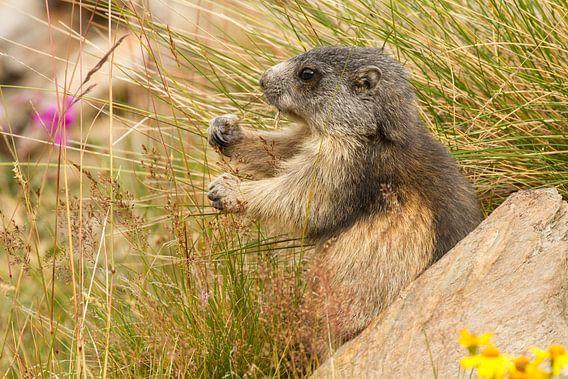 Marmot is gras aan het eten in de alpen van Paul Wendels