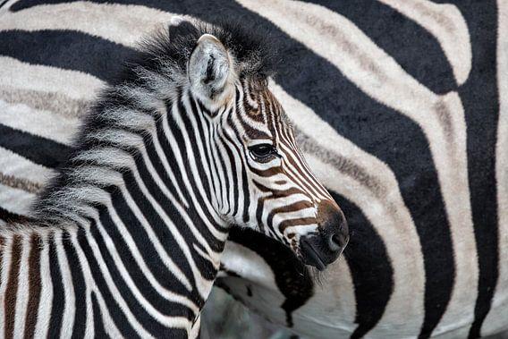 Zebraveulen (Equus burchellii) staand naast de moeder, Sabi Sands Game Reserve, Mpumalanga, Zuid-Afr