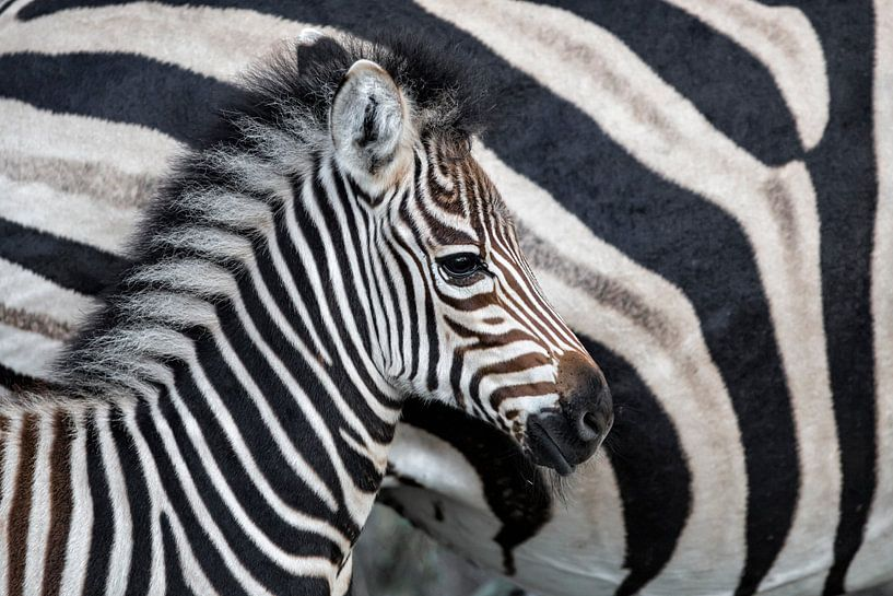 Zebraveulen (Equus burchellii) staand naast de moeder, Sabi Sands Game Reserve, Mpumalanga, Zuid-Afr van Nature in Stock