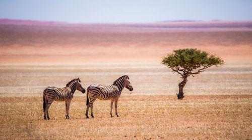 Zebra's en eenzame boom van