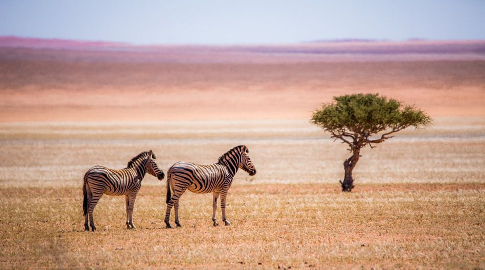 Zebra's en eenzame boom van Robert Riewald