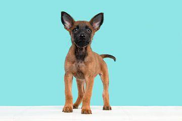 Netter Malinois-Schäferhund-Welpe stehend vor einem blauen Hintergrund von Elles Rijsdijk