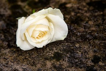 Rose von Andreas Müller