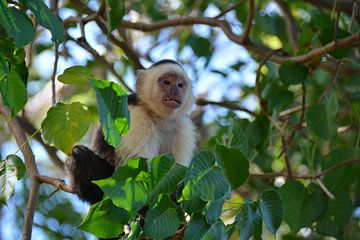 Kapuzineräffchen im Dschungel Costa Rica von My Footprints