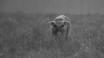 Schotse Hooglander in Zwart/wit