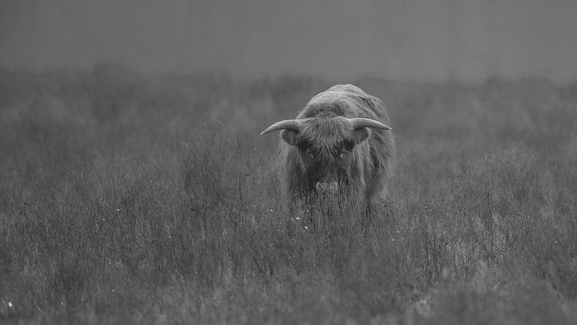 Schotse Hooglander in Zwart/wit van Menno Schaefer