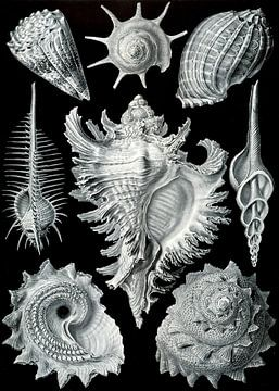Prosobranchia - Ernst Haeckel sur