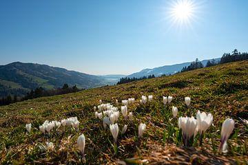 Krokussen op de Hündlekopf met uitzicht op de Alpsee in de lente in de Allgäuer Alpen van Leo Schindzielorz