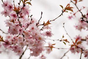 Prunus bloesem van
