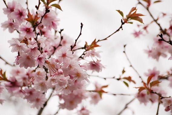 Prunus bloesem van Margreet Frowijn