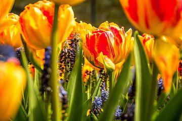 Die markante Tulpe von Stedom Fotografie