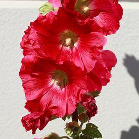 Stockmalven, Stockmalve, Stockrose, Blume, Blüte von Torsten Krüger