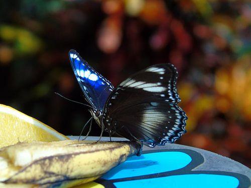 Tropische vlinder met fruit ( Tropical butterfly with fruit) Collectie 2018 van