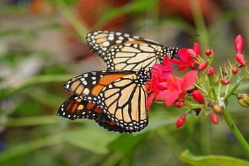 Schmetterlinge von Teun Gerritsen